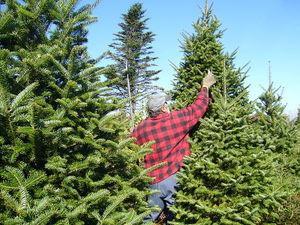 800pxbalsam_fir_christmas_tree_prun